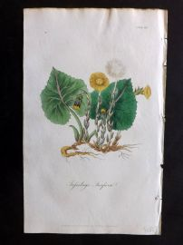 Cox Medical Botany 1822 Hand Col Botanical Print. Common Coltsfoot 113